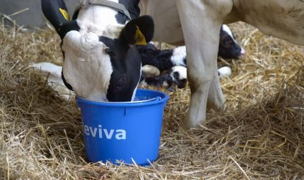 Give cows a post-calving boost with Reviva